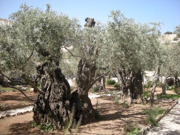 Garden of Gethsemane - Tour the Holy Land